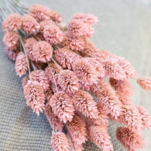Phalaris rosa