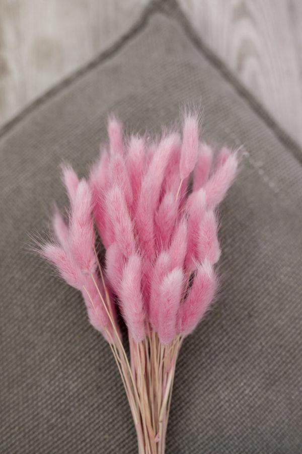 lagurus rosa