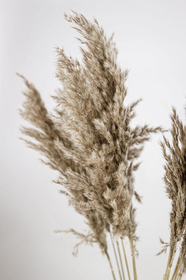 pampasgras fluffy