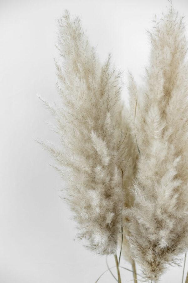 pampasgras fluffig