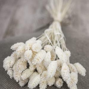 Trockenblumen | Phalaris weiß gebleicht