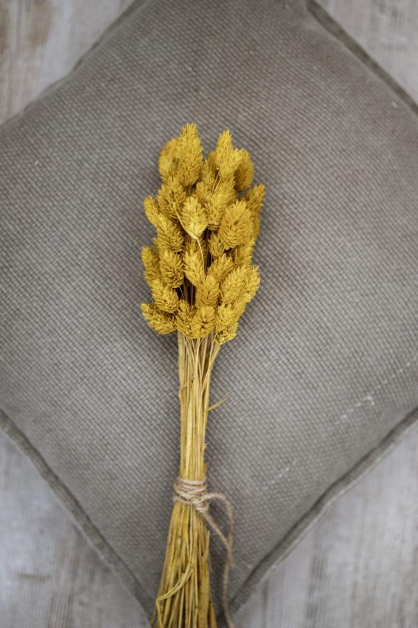 phalaris senf