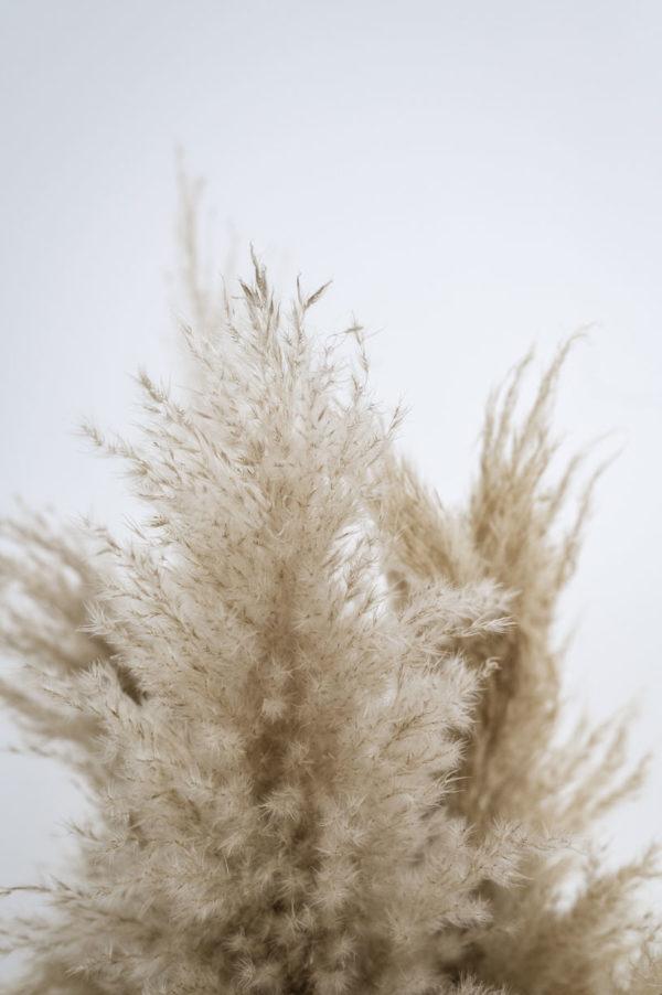 pampasgräser b-ware