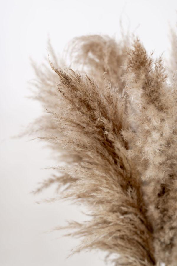 pampasgräser