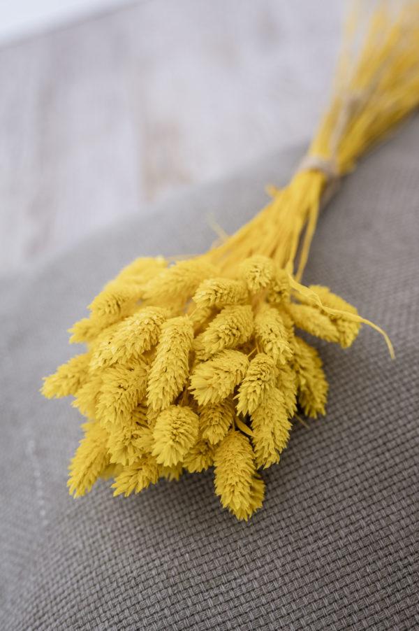 phalaris gelb