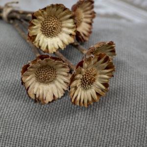 protea getrocknet