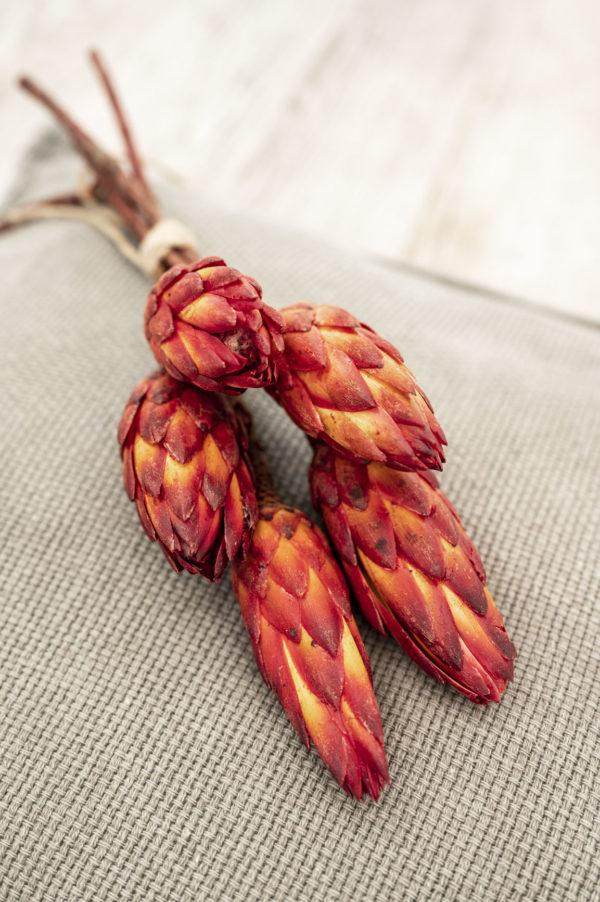 protea repens rot